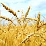 Celíacos: descubren un nuevo método para detectar la presencia de gluten en los alimentos