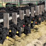 Feed lot: claves para reconocer este tipo de carne
