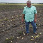 La otra gran crisis del coronavirus: agricultores destruyen millones de toneladas de alimentos por no poder venderlos