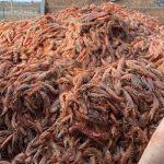 Langostinos: por un conflicto gremial, se tiraron 500 toneladas a la basura