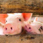 Acuerdo con China: buscan duplicar la producción de carne de cerdo pero hay resistencias