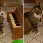 El gato con sobrepeso que está a dieta y se queja tocando un piano