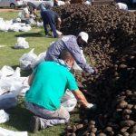 Recuperan y donan 10 millones de kilos de papas que iban a ser tiradas