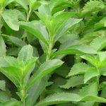 Stevia: historia de la planta que se convirtió en el edulcorante más popular