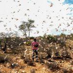 Peligra la comida de millones de africanos por una nueva plaga de langostas