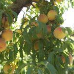 Duraznos: historia, secretos y tips de una fruta siempre irresistible