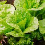 Día de la Lechuga, la original propuesta para impulsar el consumo del ingrediente más popular de las ensaladas