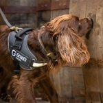El perro que se convirtió en catador de whisky, un novedoso control de calidad que empezó a utilizar una destilería escocesa